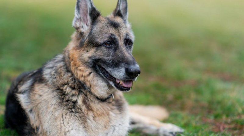 Bidens anuncia a morte do campeão do 'primeiro cão'